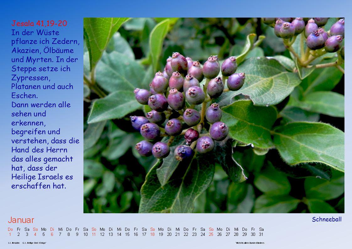 Jesala 41,19-20 In der Wüste pflanze ich Zedern, Akazien, Ölbäume und Myrten. In der Steppe setze ich Zypressen, Platanen und auch Eschen.