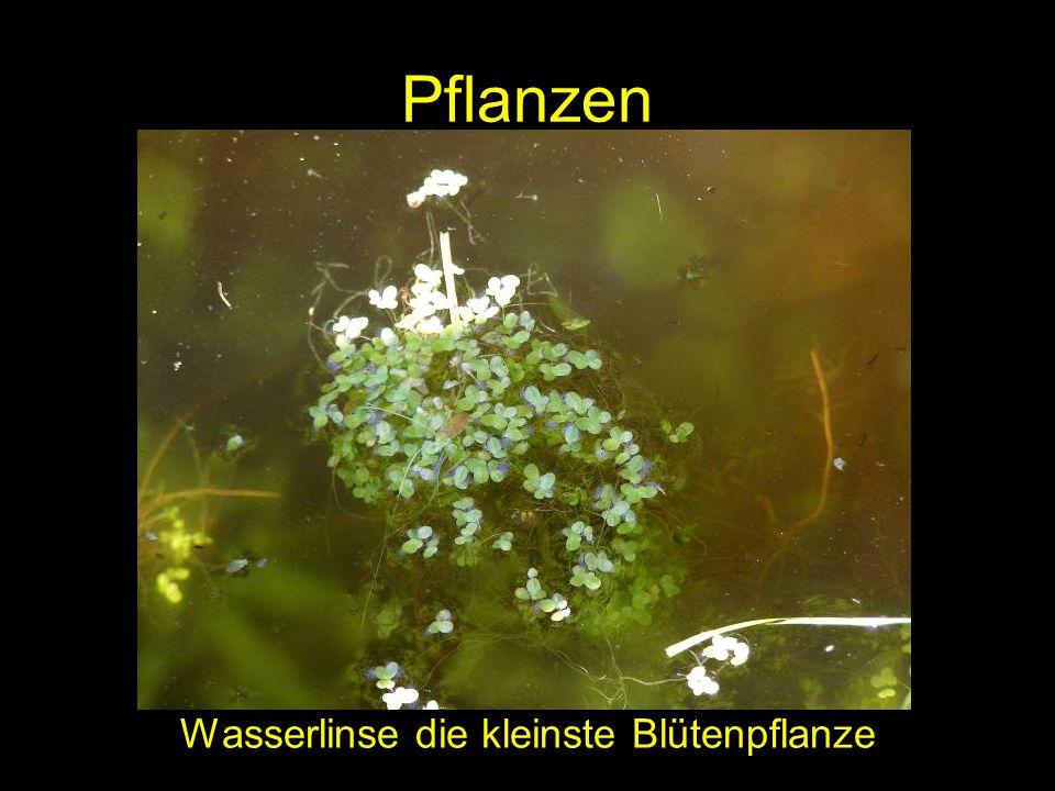 Wasserlinse die kleinste Blütenpflanze