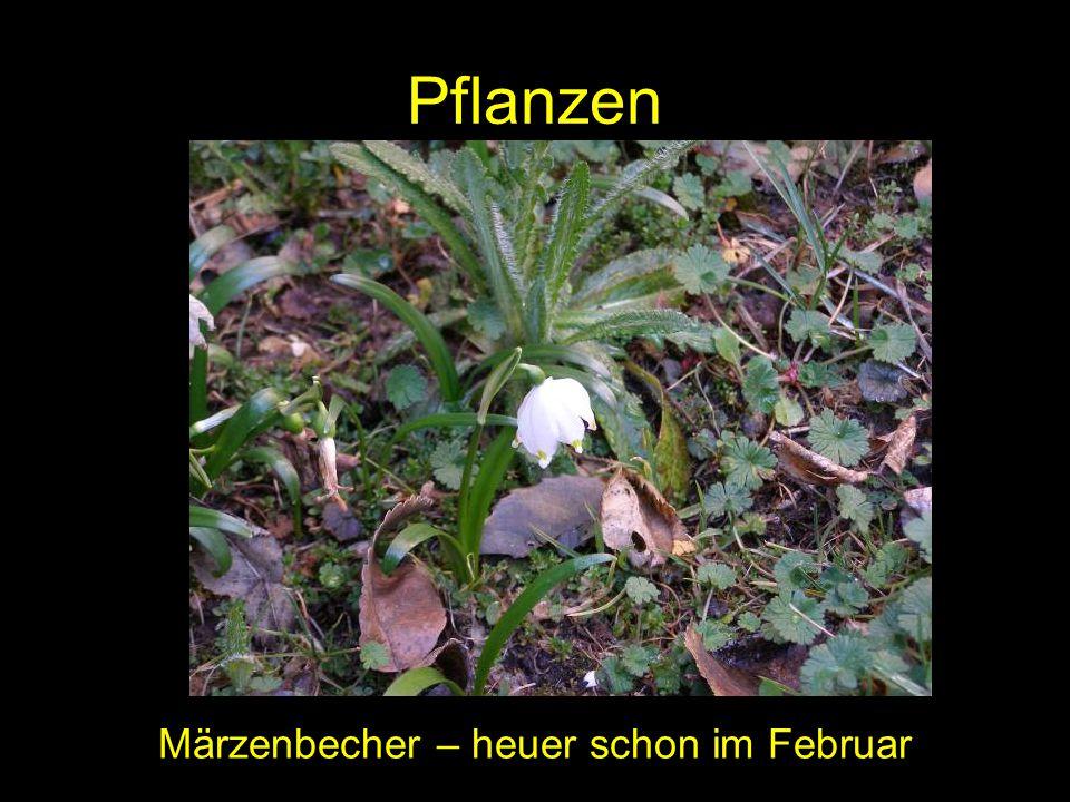 Märzenbecher – heuer schon im Februar