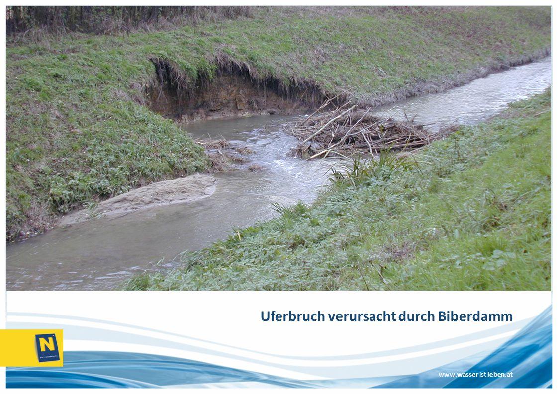 Uferbruch verursacht durch Biberdamm