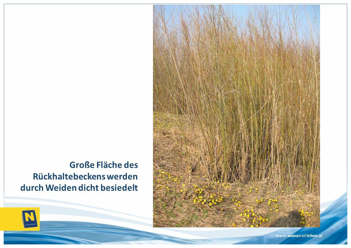 Große Fläche des Rückhaltebeckens werden durch Weiden dicht besiedelt