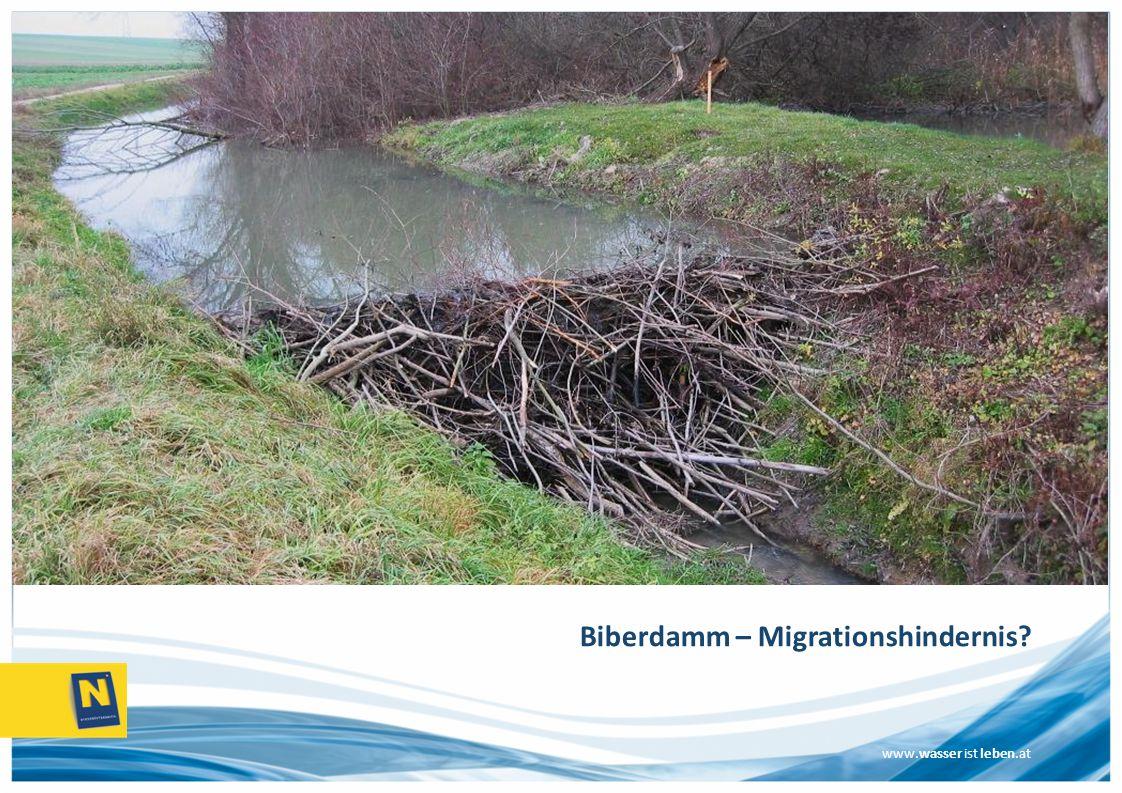 Biberdamm – Migrationshindernis