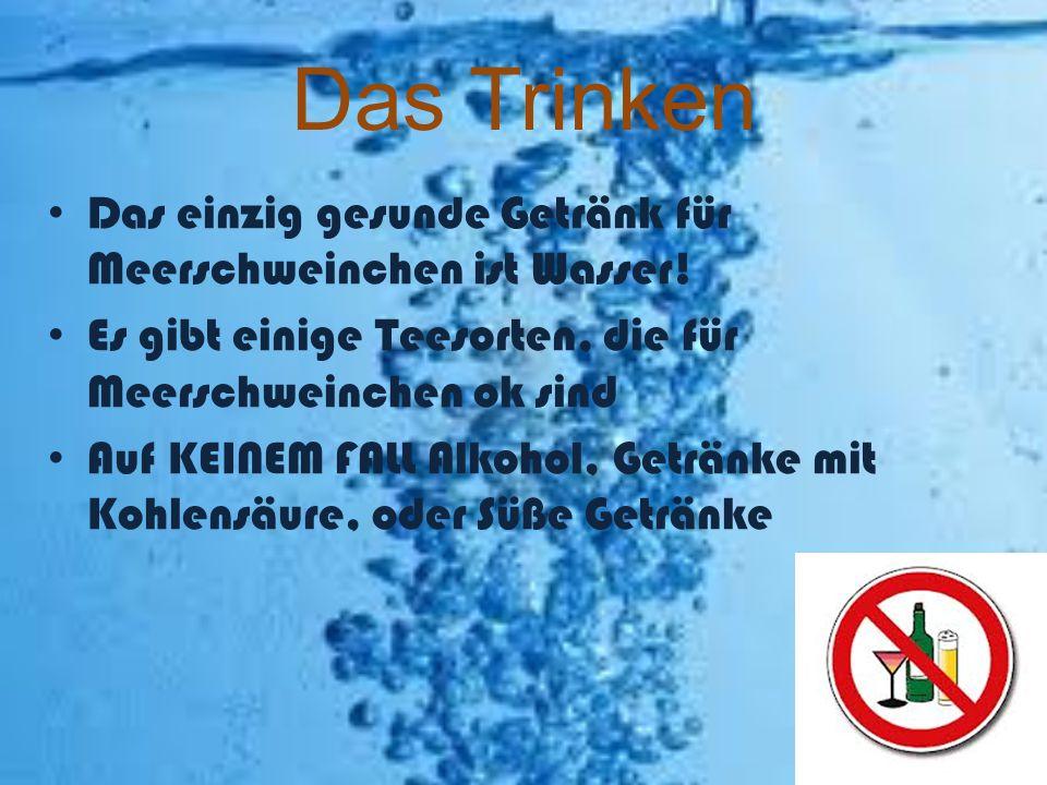 Das Trinken Das einzig gesunde Getränk für Meerschweinchen ist Wasser!