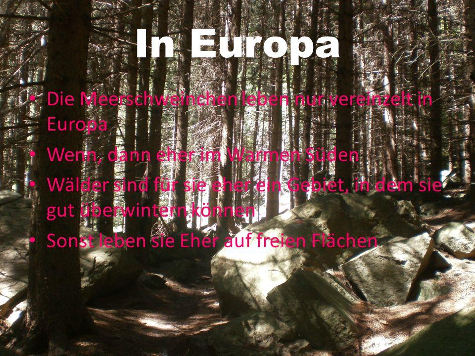 In Europa Die Meerschweinchen leben nur vereinzelt in Europa
