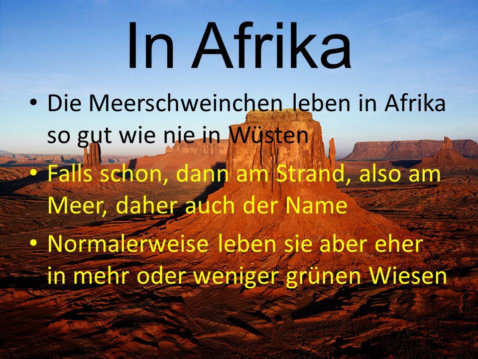 In Afrika Die Meerschweinchen leben in Afrika so gut wie nie in Wüsten