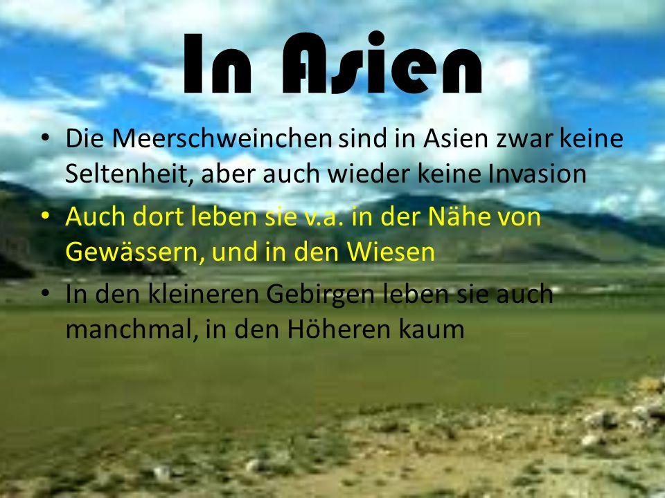 In Asien Die Meerschweinchen sind in Asien zwar keine Seltenheit, aber auch wieder keine Invasion.