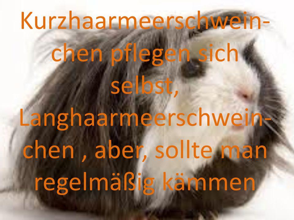 Kurzhaarmeerschwein-chen pflegen sich selbst, Langhaarmeerschwein-chen , aber, sollte man regelmäßig kämmen