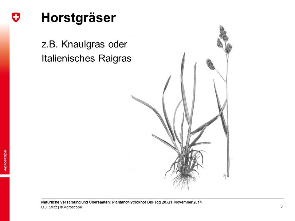 Horstgräser z.B. Knaulgras oder Italienisches Raigras