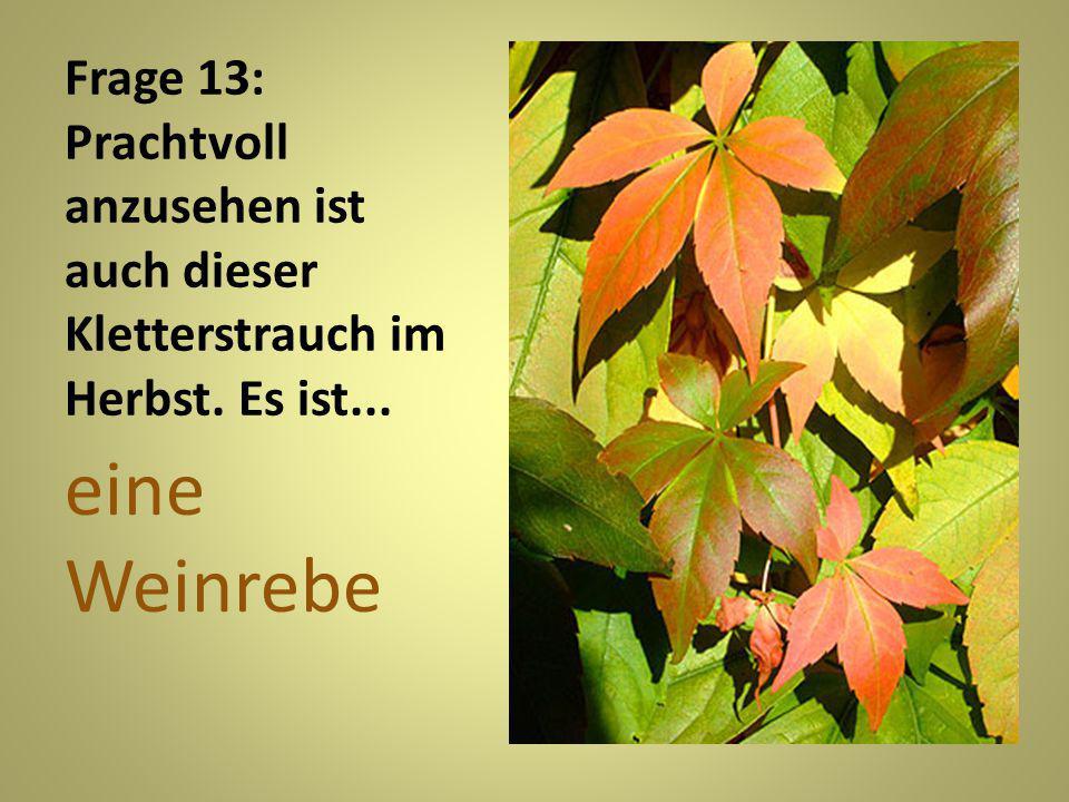 Frage 13: Prachtvoll anzusehen ist auch dieser Kletterstrauch im Herbst. Es ist...
