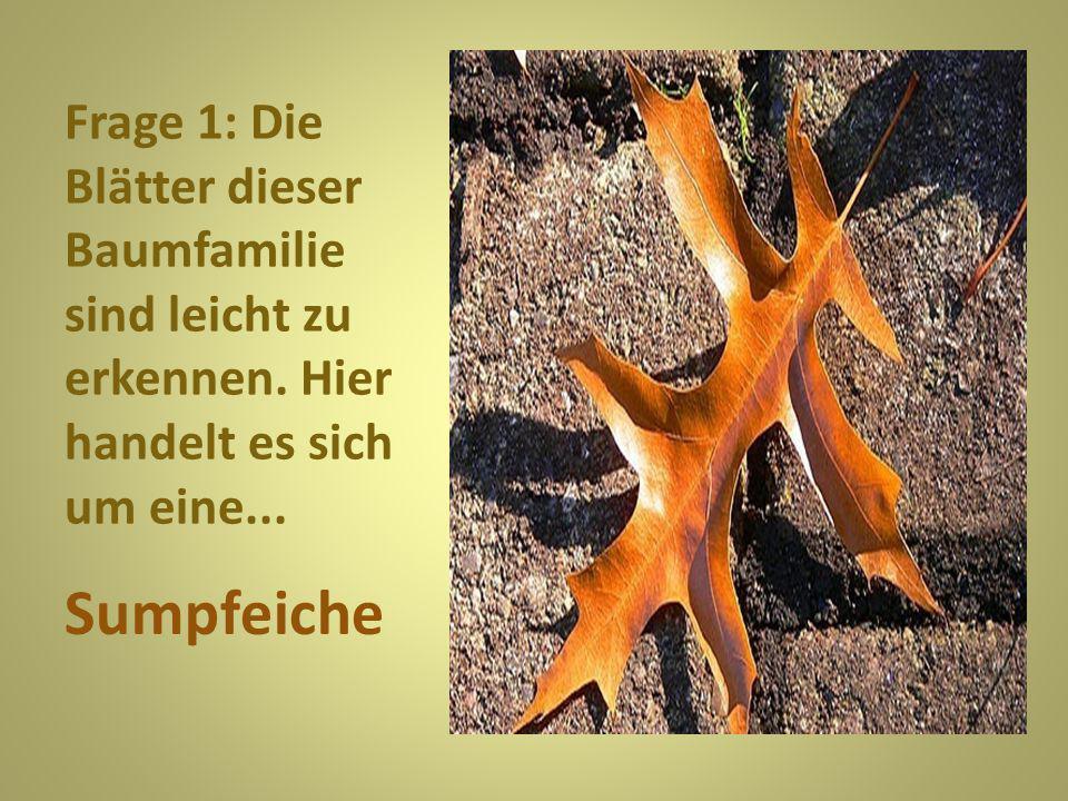 Frage 1: Die Blätter dieser Baumfamilie sind leicht zu erkennen