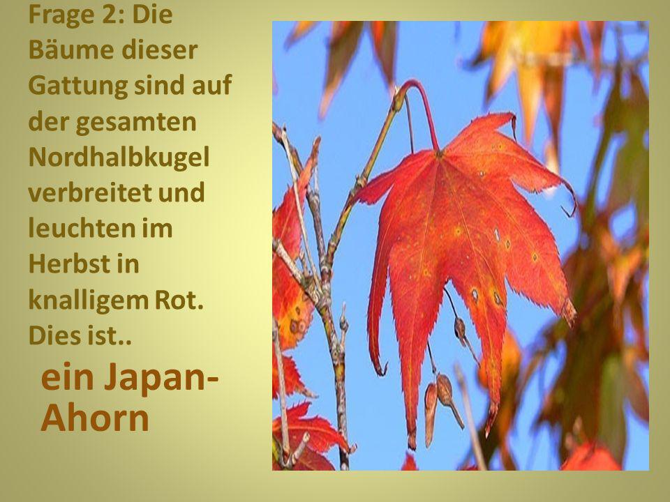 Frage 2: Die Bäume dieser Gattung sind auf der gesamten Nordhalbkugel verbreitet und leuchten im Herbst in knalligem Rot. Dies ist..