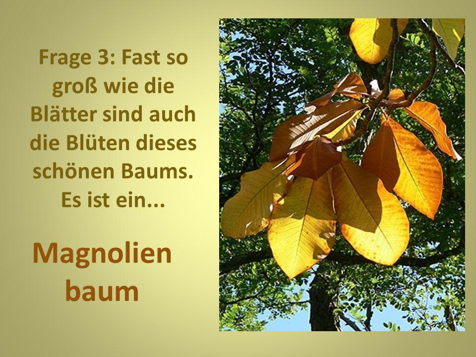 Frage 3: Fast so groß wie die Blätter sind auch die Blüten dieses schönen Baums. Es ist ein...