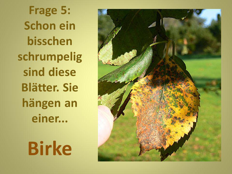 Frage 5: Schon ein bisschen schrumpelig sind diese Blätter