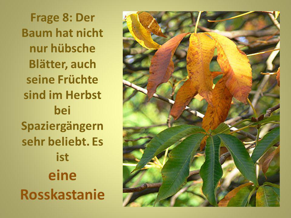 Frage 8: Der Baum hat nicht nur hübsche Blätter, auch seine Früchte sind im Herbst bei Spaziergängern sehr beliebt. Es ist
