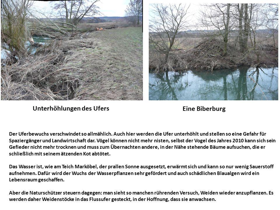 Unterhöhlungen des Ufers Eine Biberburg