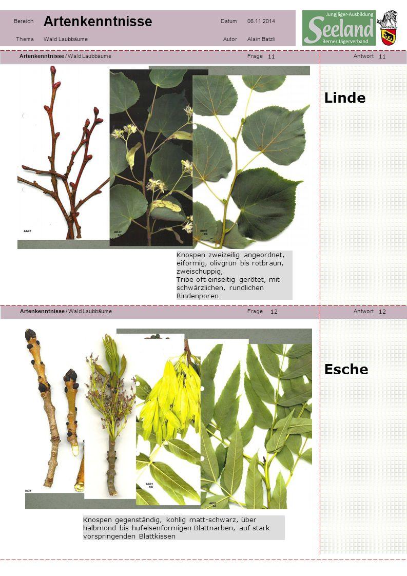 11 11. Linde. Knospen zweizeilig angeordnet, eiförmig, olivgrün bis rotbraun, zweischuppig,