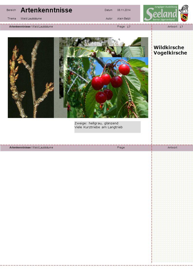 Wildkirsche Vogelkirsche Zweige: hellgrau, glänzend