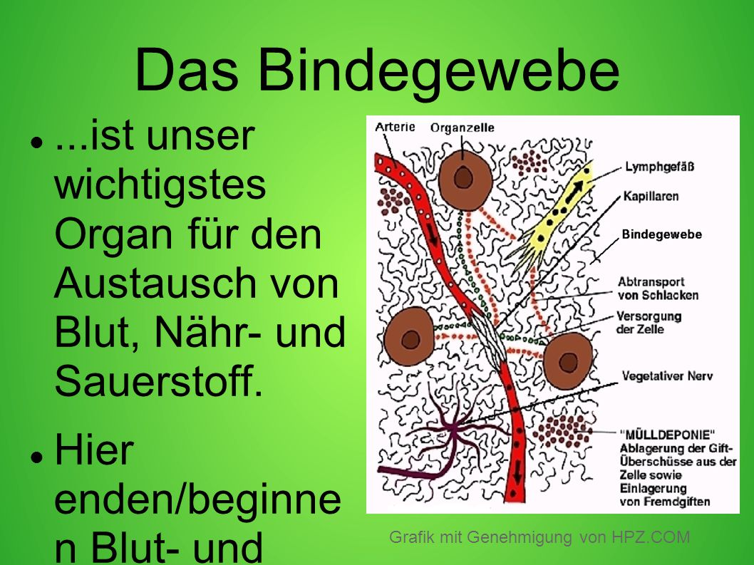 Das Bindegewebe ...ist unser wichtigstes Organ für den Austausch von Blut, Nähr- und Sauerstoff.
