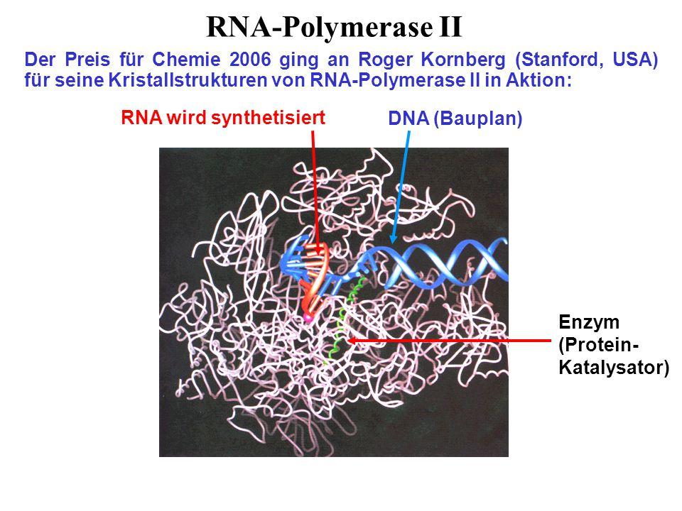 RNA-Polymerase II Der Preis für Chemie 2006 ging an Roger Kornberg (Stanford, USA) für seine Kristallstrukturen von RNA-Polymerase II in Aktion: