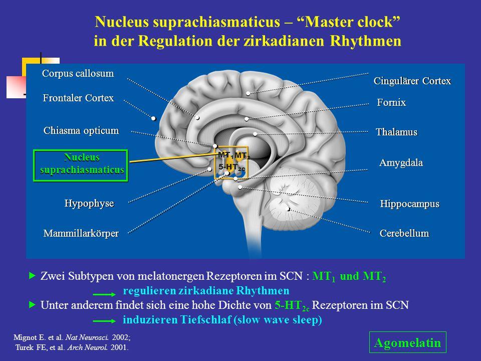 Nucleus suprachiasmaticus – Master clock