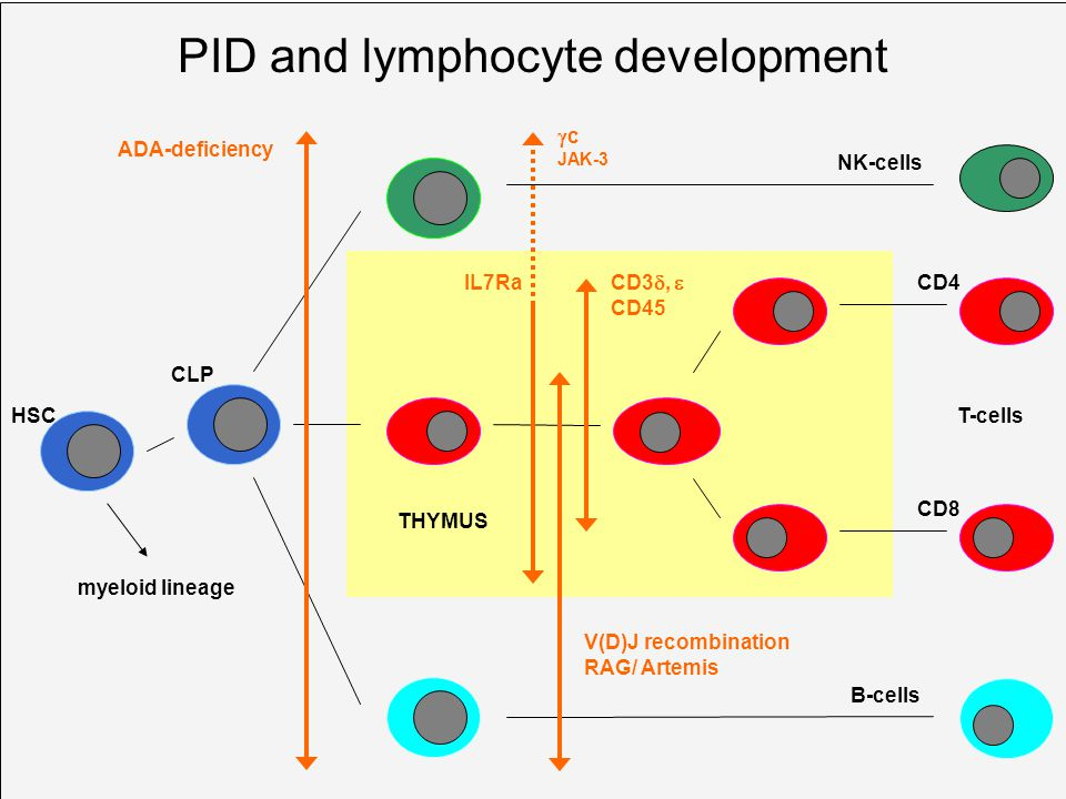 PID and lymphocyte development