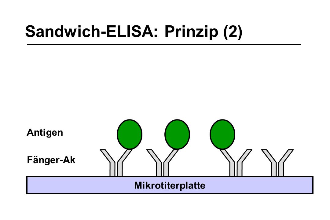 Sandwich-ELISA: Prinzip (2)