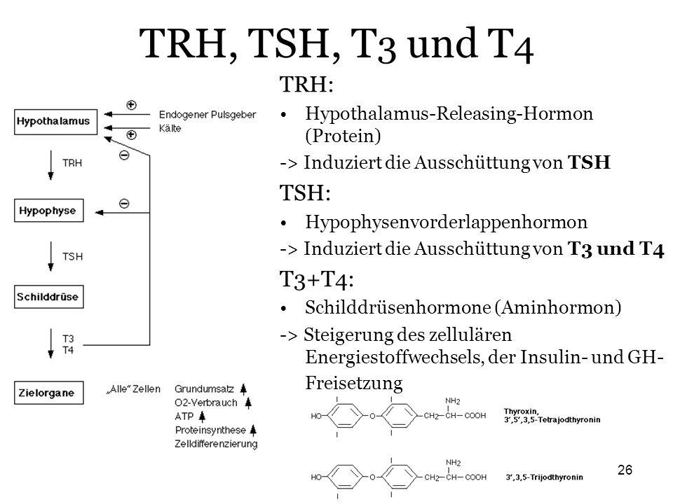 TRH, TSH, T3 und T4 TRH: TSH: T3+T4: