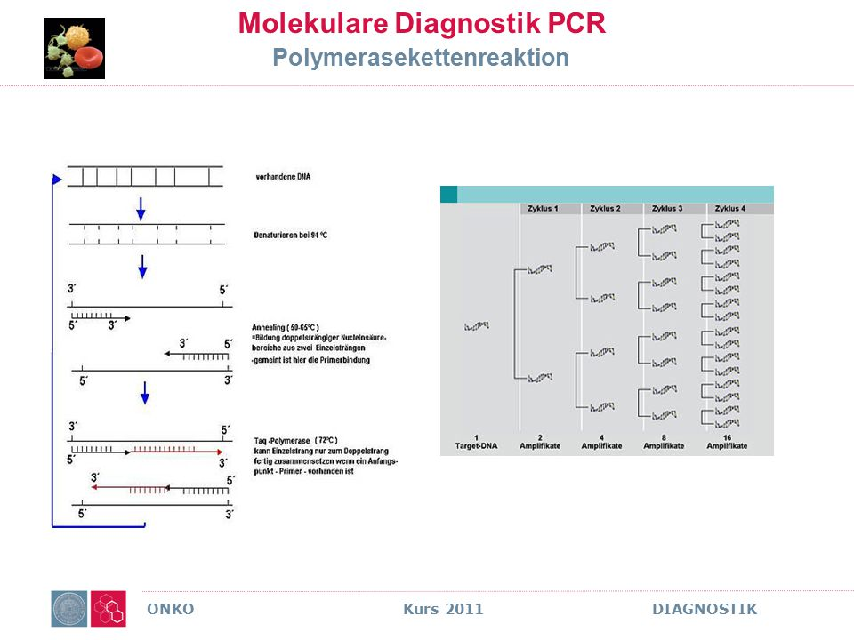 Molekulare Diagnostik PCR Polymerasekettenreaktion