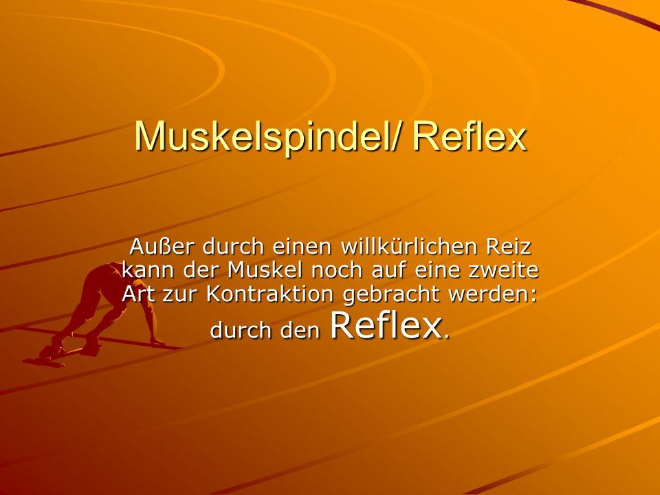 Muskelspindel/ Reflex