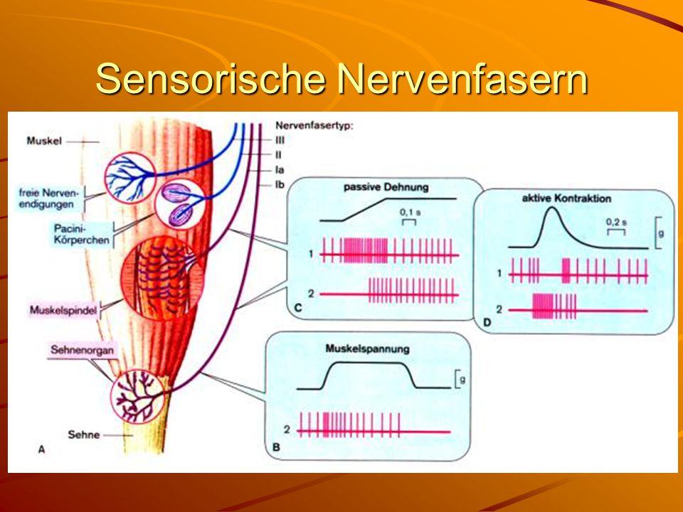 Sensorische Nervenfasern