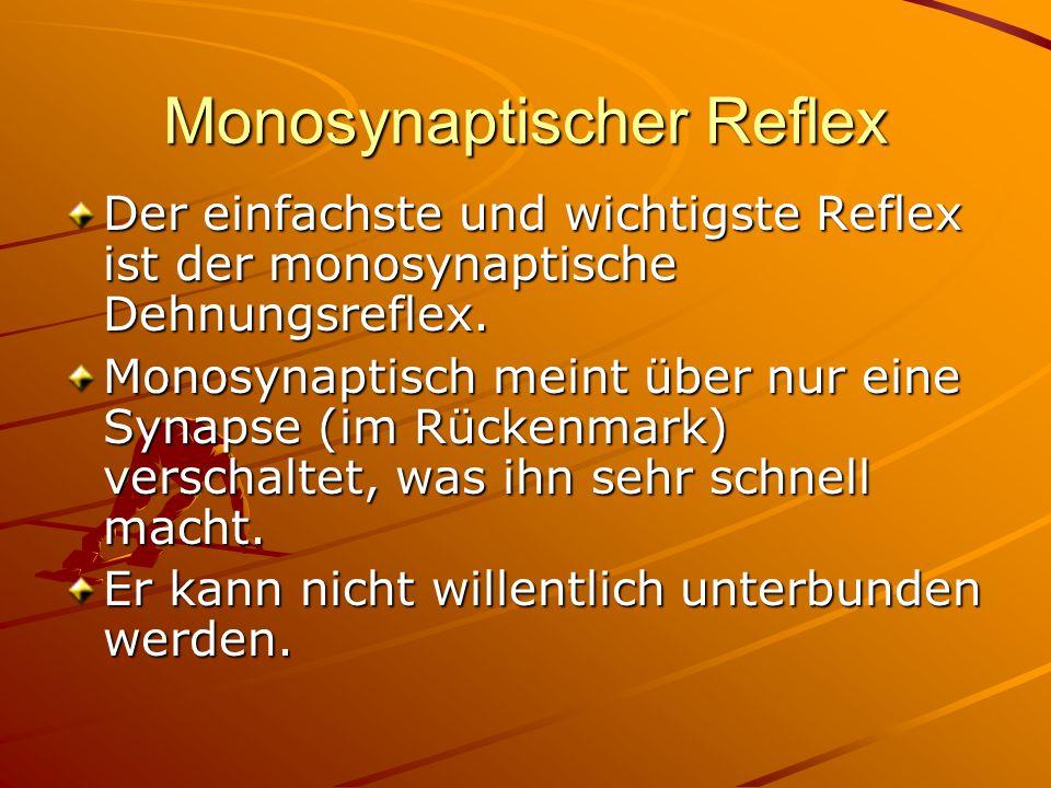 Monosynaptischer Reflex