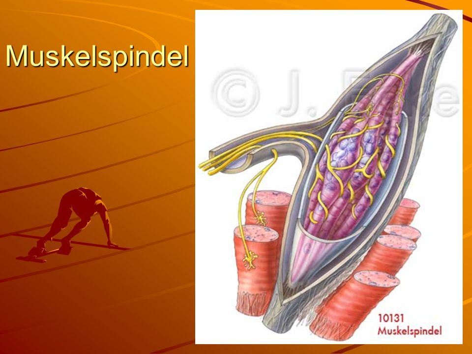 Muskelspindel