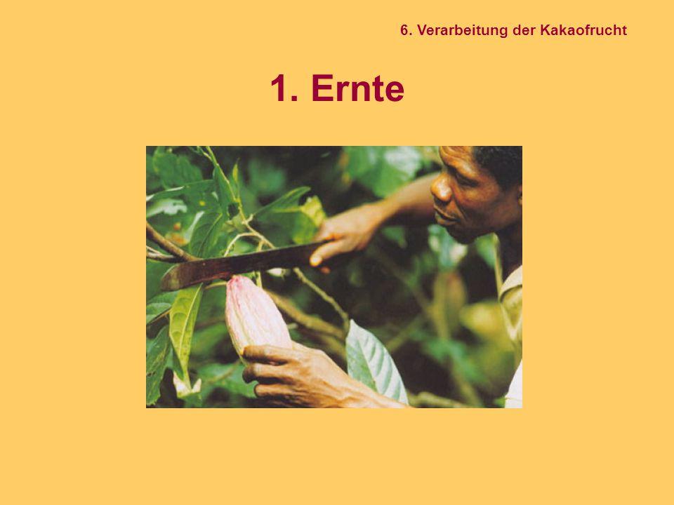 6. Verarbeitung der Kakaofrucht