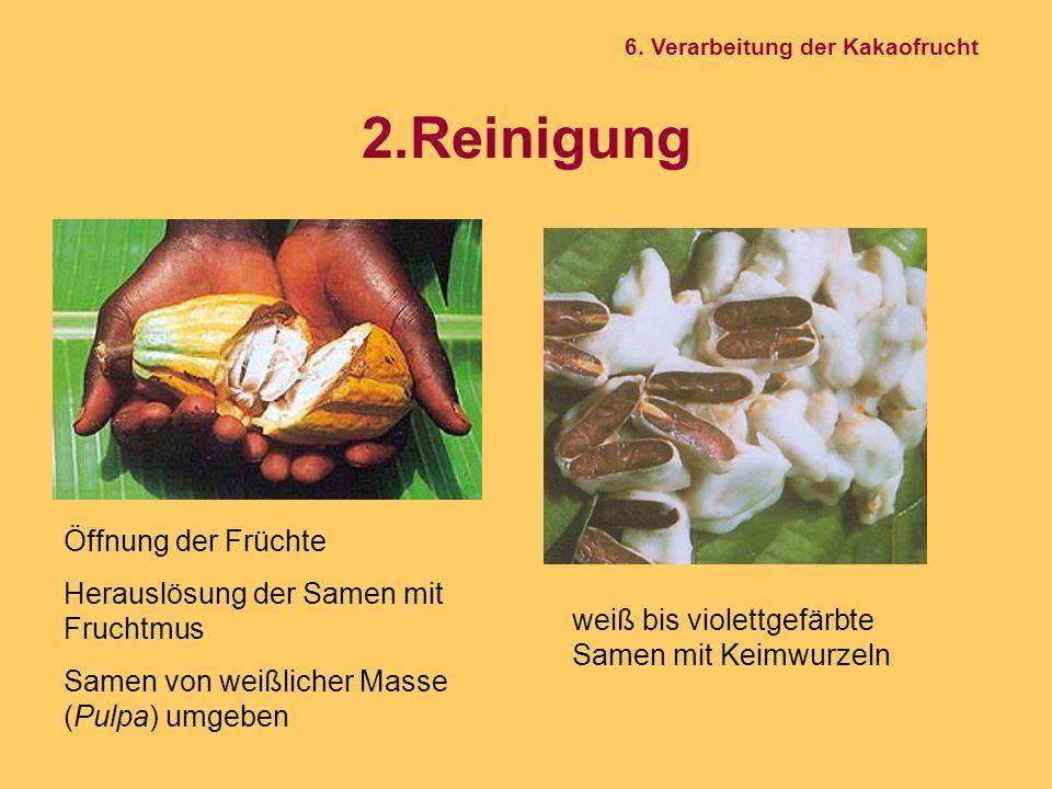 2.Reinigung Öffnung der Früchte Herauslösung der Samen mit Fruchtmus