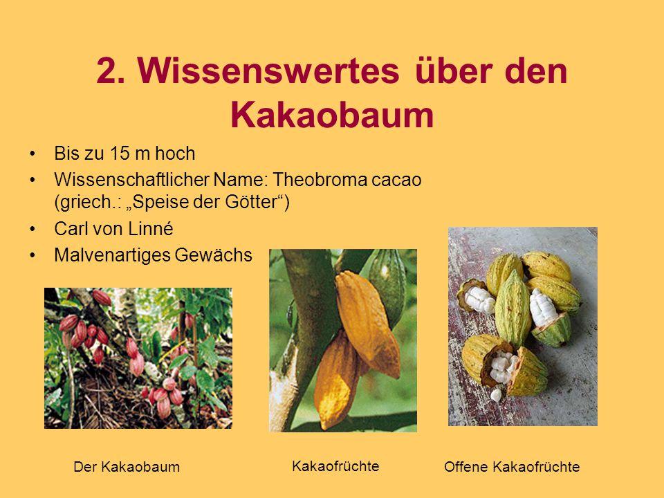 2. Wissenswertes über den Kakaobaum