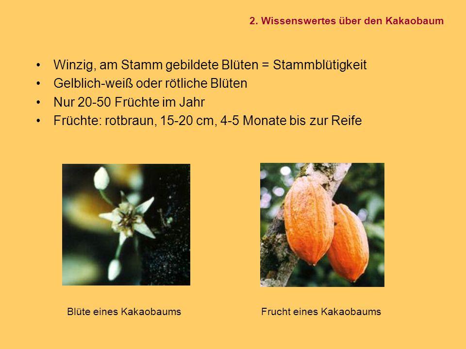 Winzig, am Stamm gebildete Blüten = Stammblütigkeit