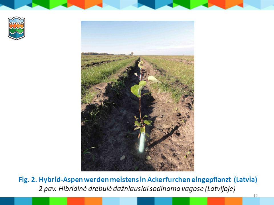 2 pav. Hibridinė drebulė dažniausiai sodinama vagose (Latvijoje)