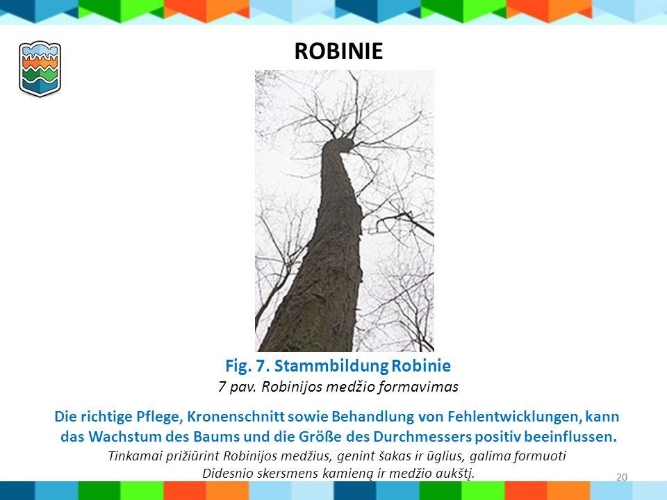Fig. 7. Stammbildung Robinie 7 pav. Robinijos medžio formavimas
