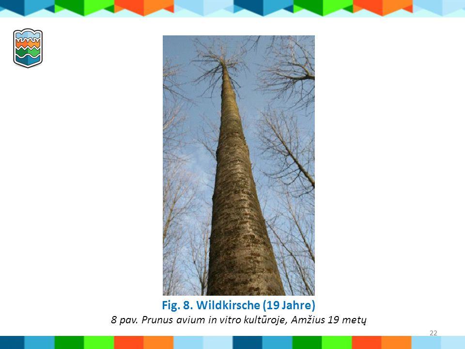 Fig. 8. Wildkirsche (19 Jahre) 8 pav