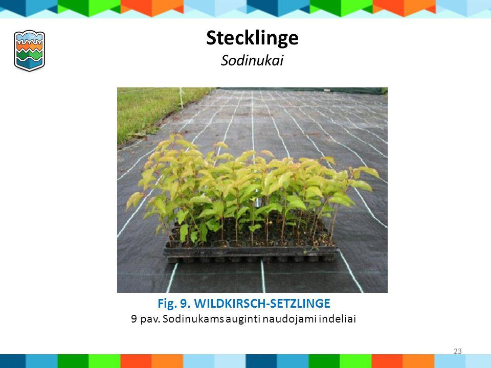 Stecklinge Sodinukai Fig. 9. Wildkirsch-Setzlinge 9 pav. Sodinukams auginti naudojami indeliai 23