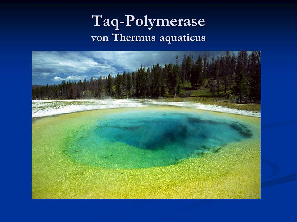 Taq-Polymerase von Thermus aquaticus