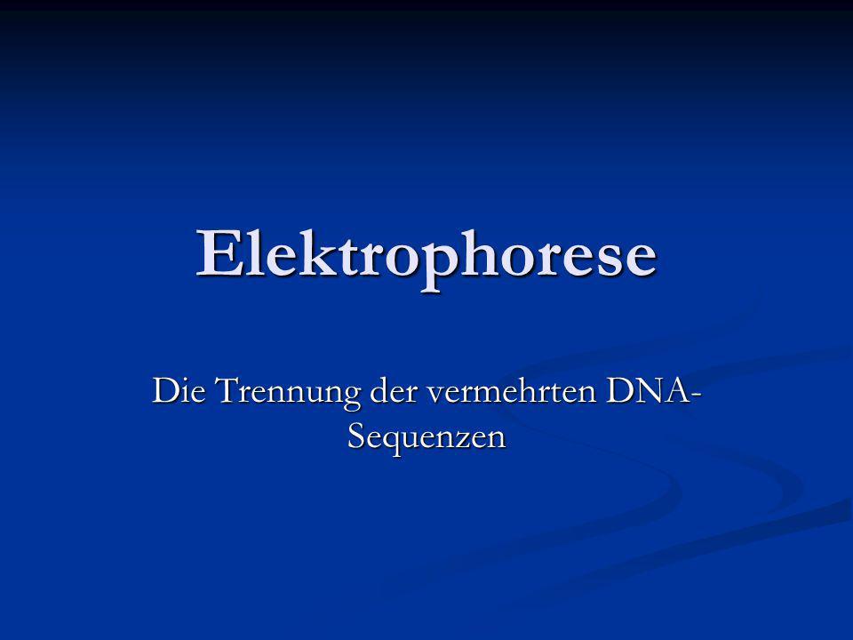 Die Trennung der vermehrten DNA-Sequenzen