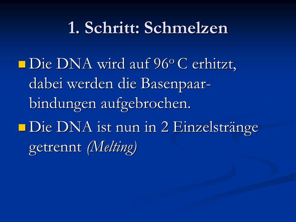 1. Schritt: Schmelzen Die DNA wird auf 96o C erhitzt, dabei werden die Basenpaar-bindungen aufgebrochen.
