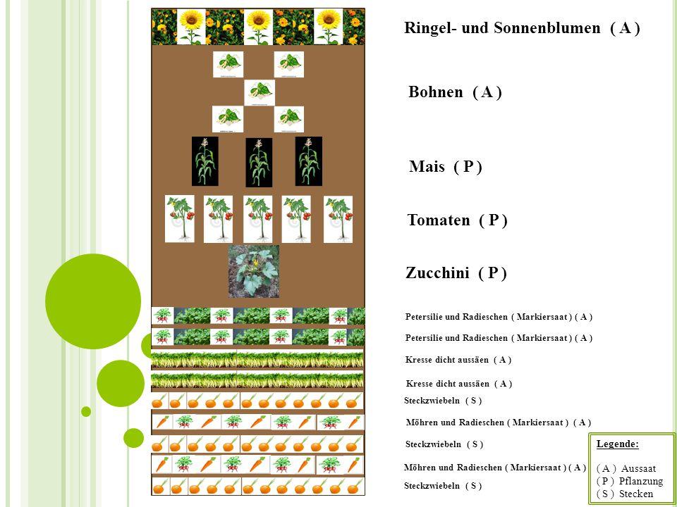 Ringel- und Sonnenblumen ( A )