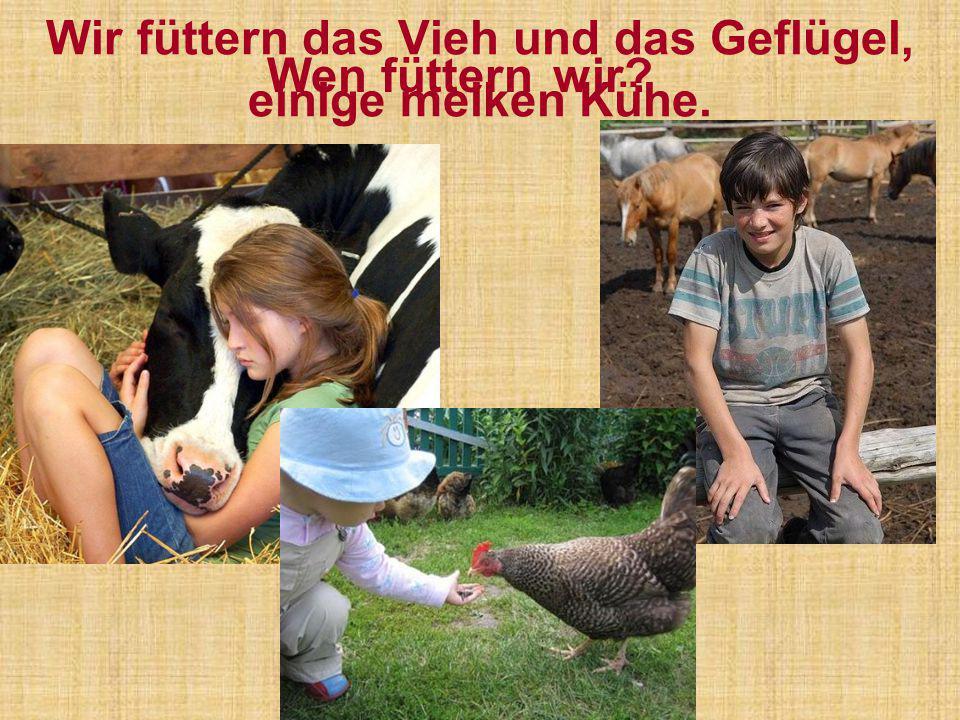 Wir füttern das Vieh und das Geflügel, einige melken Kühe.