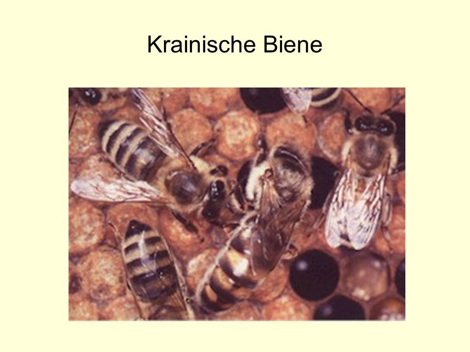 Krainische Biene