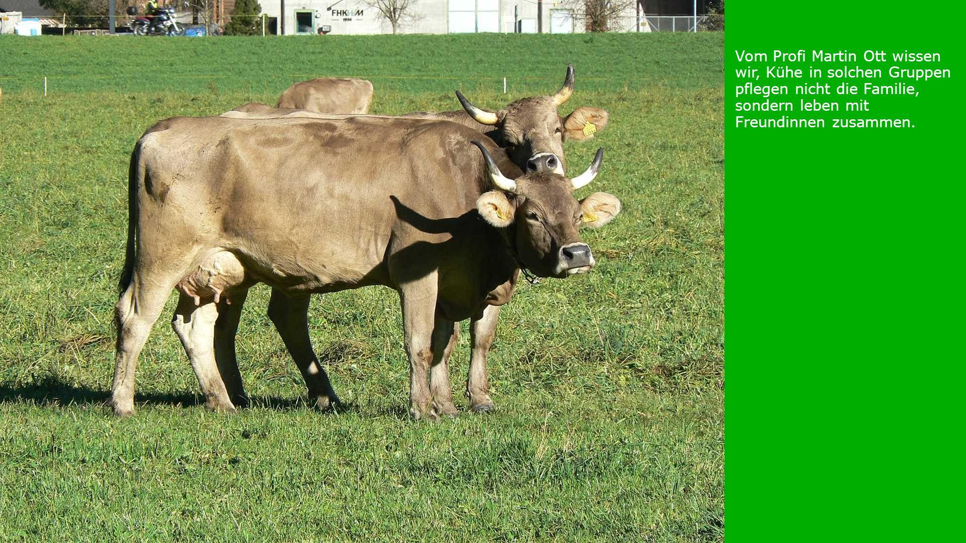 Vom Profi Martin Ott wissen wir, Kühe in solchen Gruppen pflegen nicht die Familie, sondern leben mit Freundinnen zusammen.