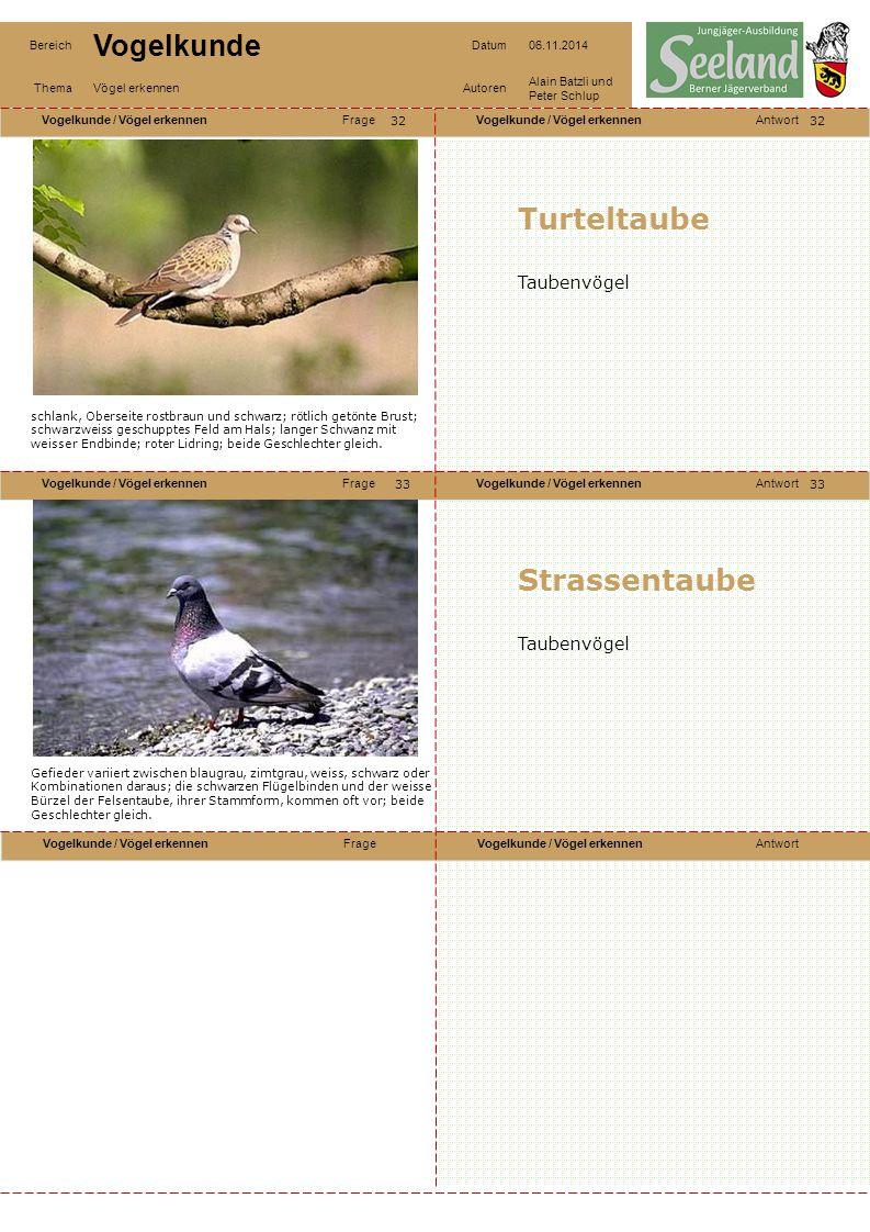 Turteltaube Strassentaube Taubenvögel Taubenvögel 32 32
