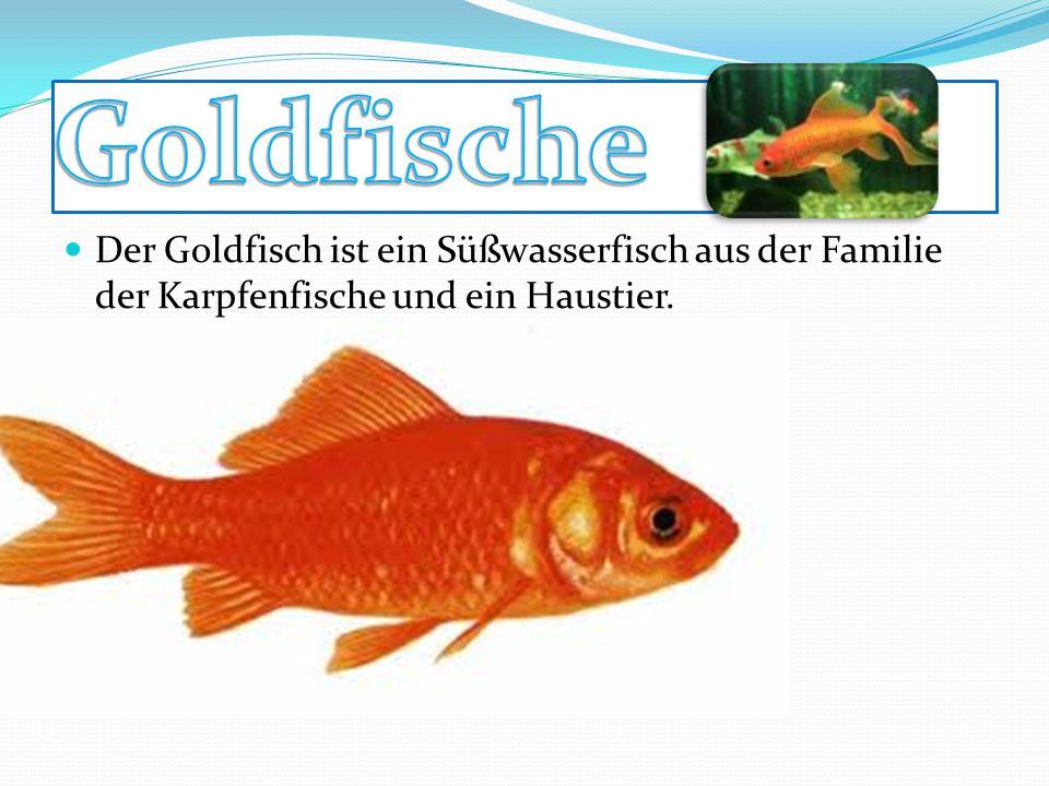Goldfische Der Goldfisch ist ein Süßwasserfisch aus der Familie der Karpfenfische und ein Haustier.