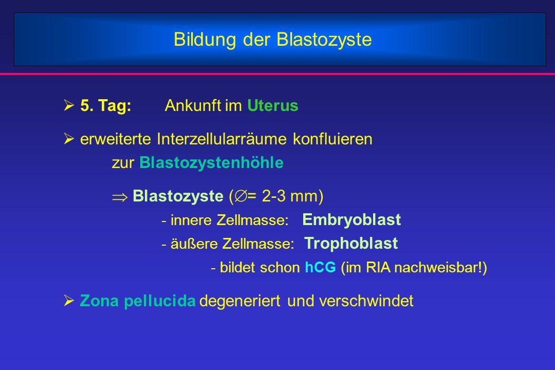 Bildung der Blastozyste